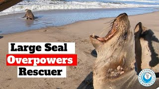 Large Seal Overpowers Rescuer