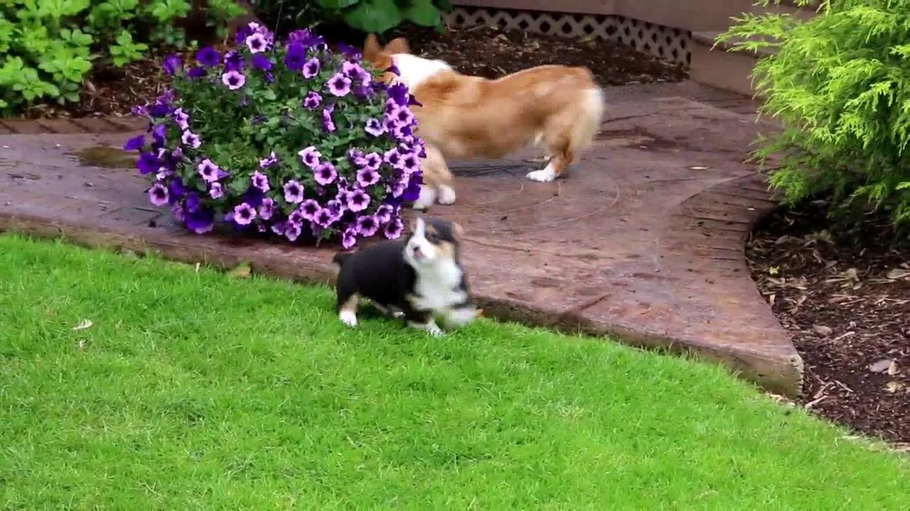 Pembroke Welsh Corgi puppies for sale Eli Stoltzfus