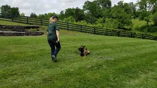 Ike off leash obedience, K9 Unleashed, Family Protection Dog