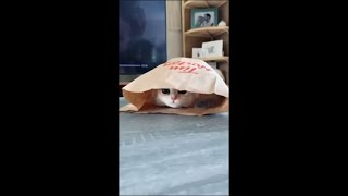 Playful Precious Cat Stuffed Itself in a Bag