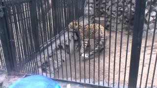 Дальневосточный леопард, Новосибирский зоопарк, 25.08.2012