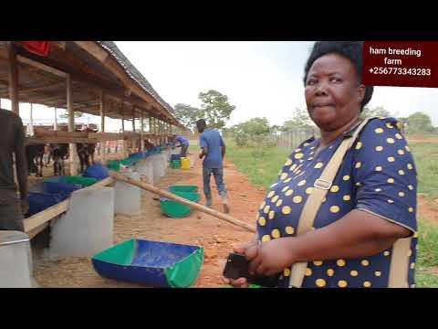 cattle feedlot establishment in uganda by hamiisi semanda  +256773343283