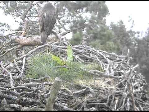 Loch of the Lowes webcam   Scottish Wildlife Trust   4