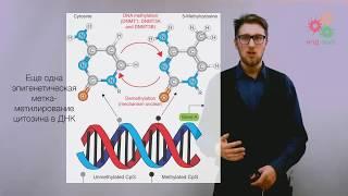 Поддержание и копирование генома. Дифференцировка клеток и хроматин