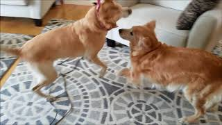 I am not sure if my Golden Retriever and Labrador Retriever is play...