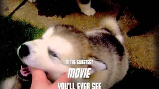 Revenge of the Fluffy Balls (Alaskan Malamute puppies - silly trailer)