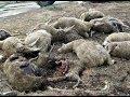 картинка овца кусает волка