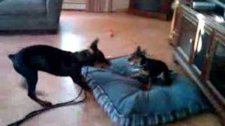 4 Month Old Doberman Puppy Plays With 9 Month Old Miniature Pinscher