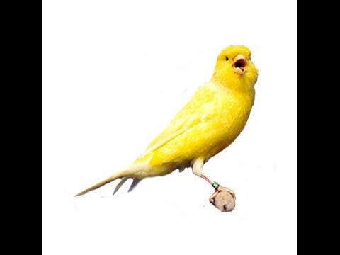 Download Lagu Kicauan Burung KENARI IMPORT High Quality Sound HD