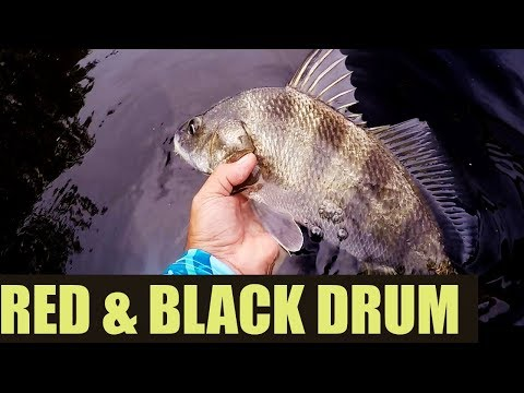 I Got Lost Catching Redfish And Black Drum On Gulp Shrimp (Collaboration)