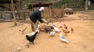 Tratando dos animais soltos no quintal no sitio.