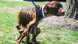 This Pit Bull Was Thrown Down From 22 Floor Into Garbage Chute, And Left At The Mercy Of God