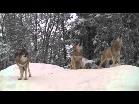 Aiutaci a salvare il lupo!