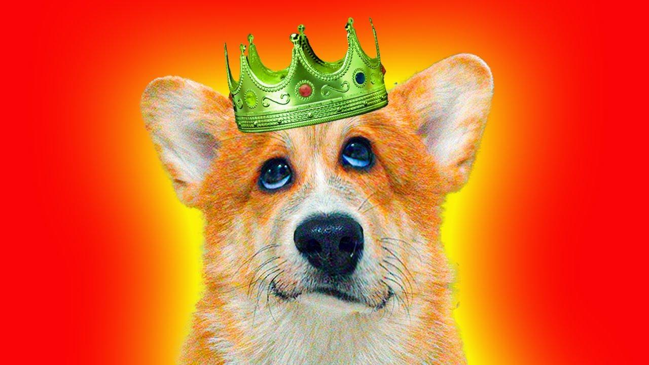 Коржик - Желтая Фигня! Лучшие серии июня! (Корги Коржик) Говорящая собака