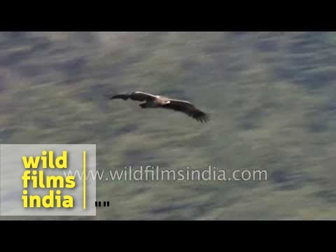 Steppe Eagle soaring on Himalayan air currents in Landour