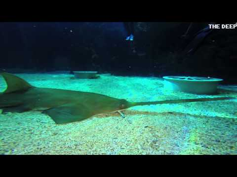 Saving The Endangered Green Sawfish | TheDeepHull