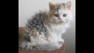 The Cutest Cat ever  Amazing Curlyhaired cat  Selkirk Rex