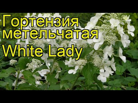 Гортензия метельчатая Уайт Леди. Краткий обзор, описание hydrangea paniculata White Lady