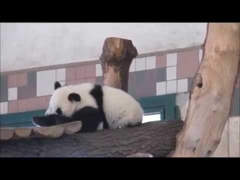 Giant Panda Twins Fu Ban and Fu Feng at Zoo Vienna