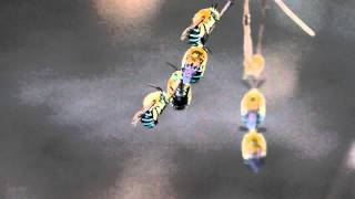 Blue Banded Bees - Kung Fu Style
