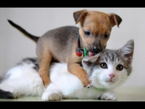 Puppies Meeting Cats For The First Time Videos Compilation 2016 || NEW HD