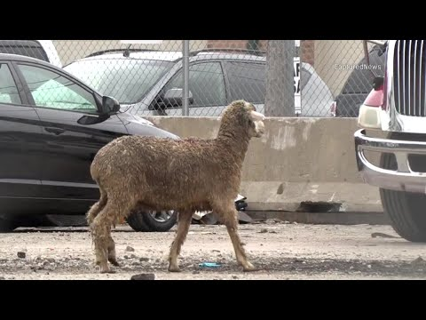 Mick Lee - Sheep Leads Authorities on Chase Through Chicago