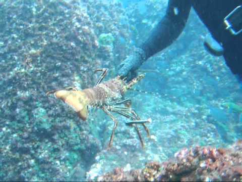 How To Catch Lobsters By Hand_0002.wmv