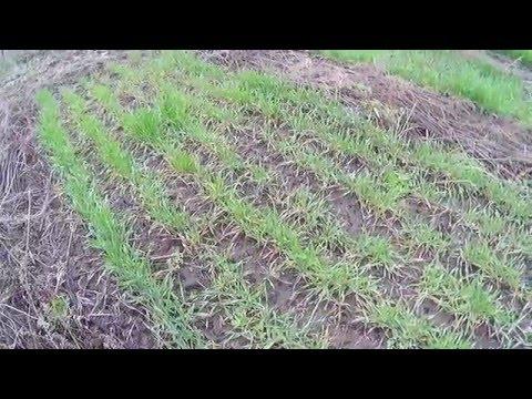 Фото колосьев пшеницы и ржи
