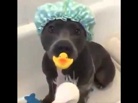 [TOP]2016 Not all dogs hate baths / Pitbull Dog loves a bath / Vine