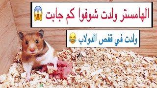 ولادة الهامستر عدد كبير 😍 وتطور مذهل للصغار خلال 8 ايام فقط | The birth of hamsters | Mohamed Vlog
