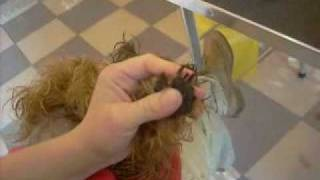 Haircut Yorkies Стрижка йорка.wmv