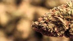 OG Kush Organic  Outdoor - iweed.org - eco friendly cannabis | iweed.io