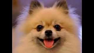 ** Housetraining Your Pomeranian ** Free 5 Day Mini-course Successful House Training
