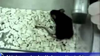 Manipulación Genética: Ratón que canta como un pajaro