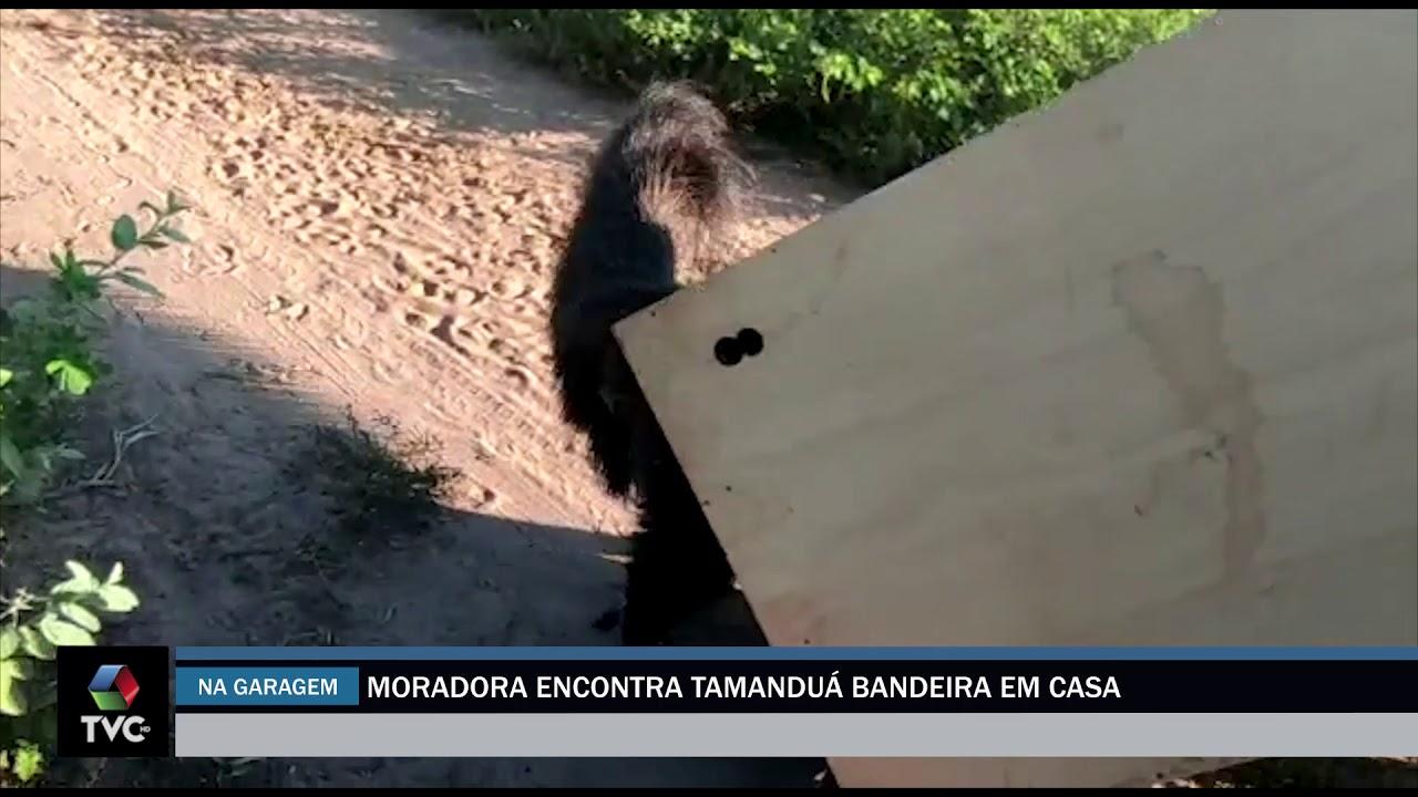 Moradora encontra tamanduá-bandeira dentro de garagem em residência