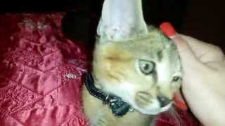 Каракет - котята 2 месяца
