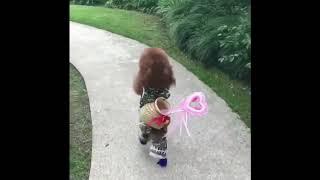 站着走路的网红狗狗泰迪