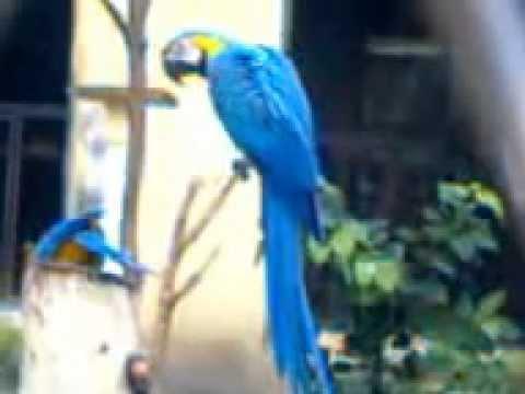 Blue-and-yellow Macaw,Zoological Garden,Kolkata,India