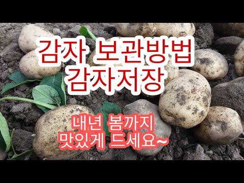 [감자재배방법] 감자 보관법 하지감자저장