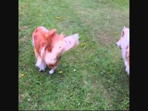 Rougth Collies Play FootBall.wmv