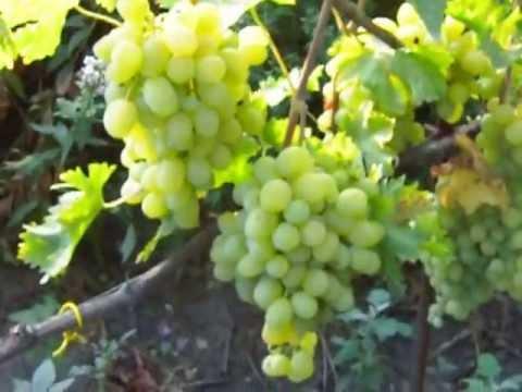 Описание и винограда подарок запорожью 157
