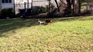 Cavalier King Charles Spaniel Puppy And Dachshund Puppy Are Best Friends