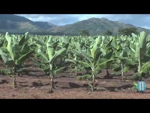 Haïti parie sur la banane avec Agritrans