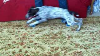 Gsp Chasing Feather Toy Part 2