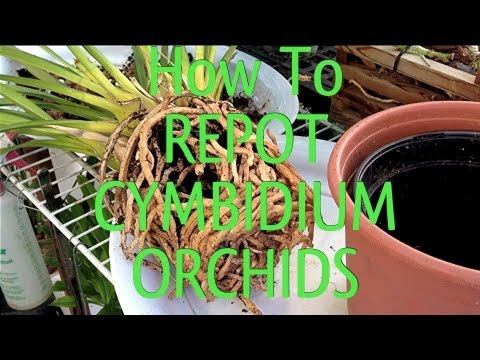 Easy Orchid Care Tips : How To Repot A Root Bound Cymbidium Orchid