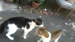 Kucing Berantem Keselek.mp4