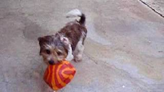 Shih Tzu Terrier Mix Puppy