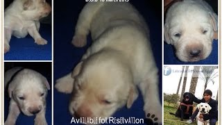Newborn Labrador Retriever Yellow Puppies