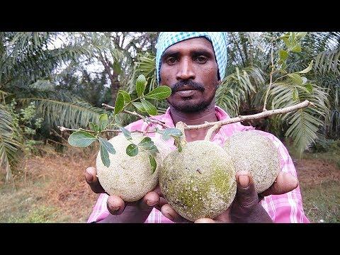 Farm Fresh WOOD APPLE Cutting And Eating In My Village |  Velakkaya