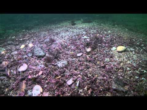 Maerl - A Rare Seabed Habitat Documentary Trailer